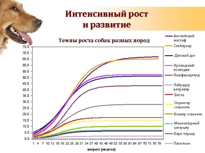 Течка у собак: продолжительность, признаки и возможные осложнения