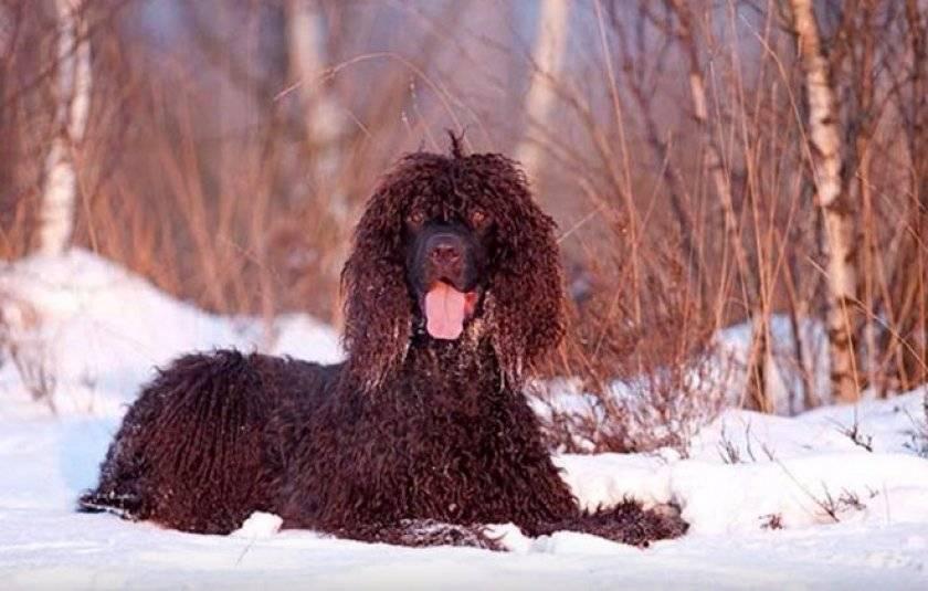 Ирландский водяной спаниель — описание породы собак