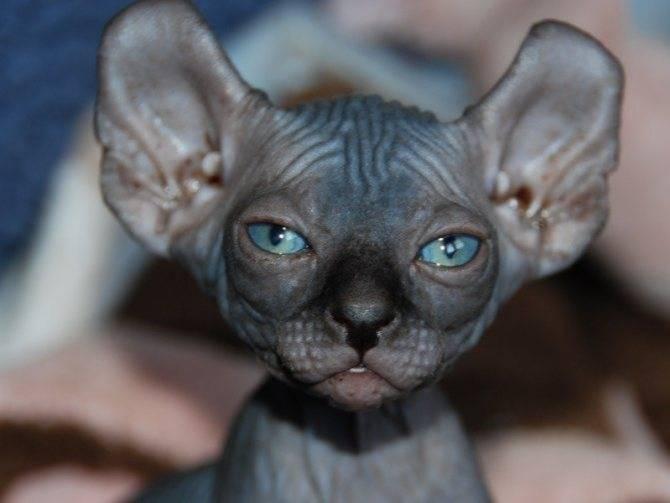 Что случится с кошкой, если ей обрезать усы?