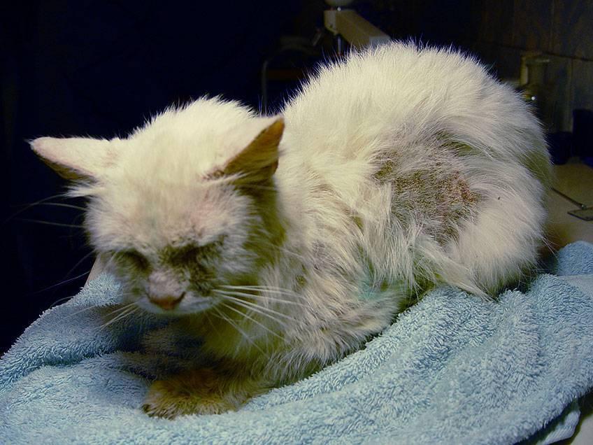 Панлейкопения у кошек: симптомы и лечение в домашних условиях