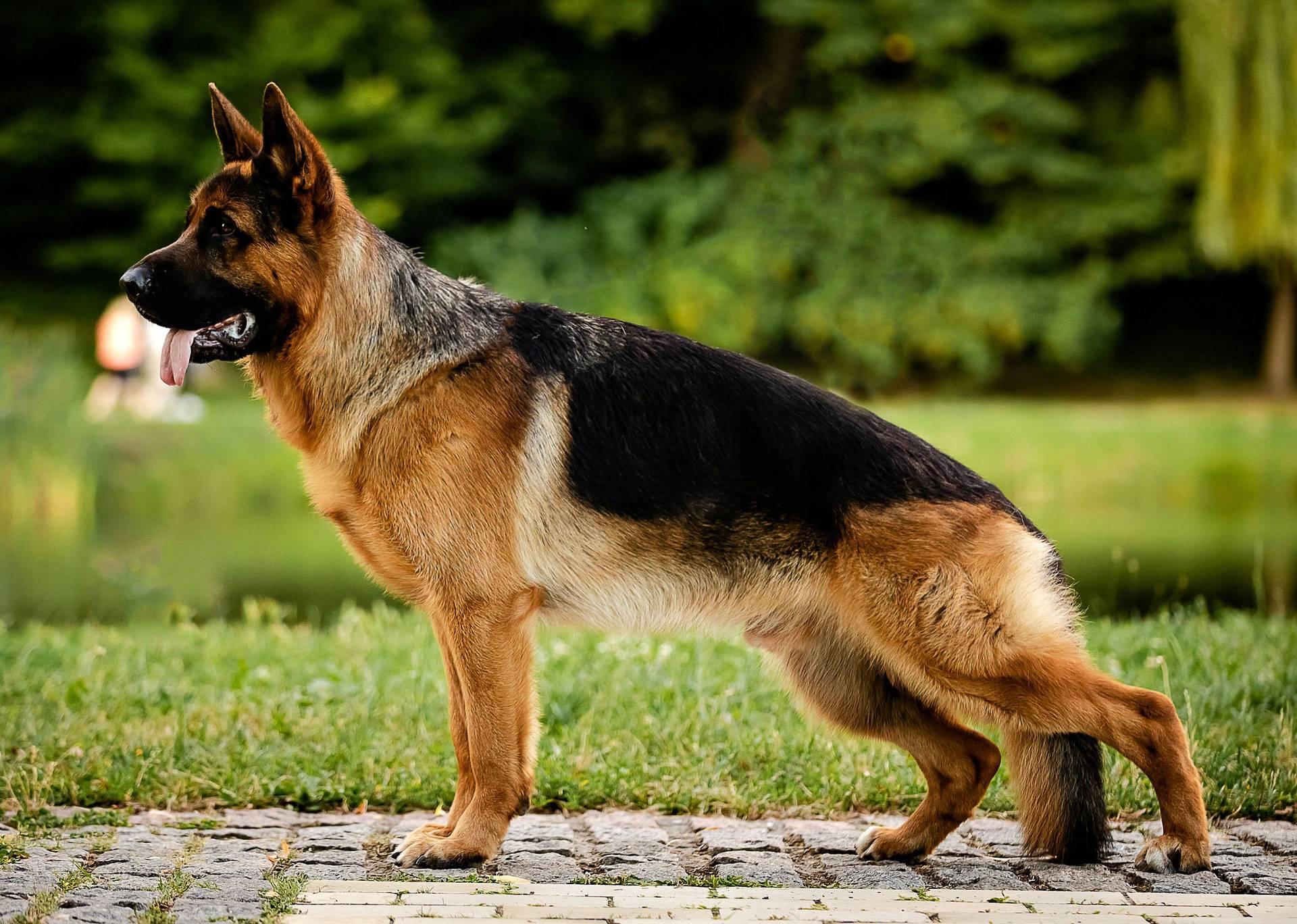 Черная немецкая овчарка – эффектная внешность и высокий интеллект