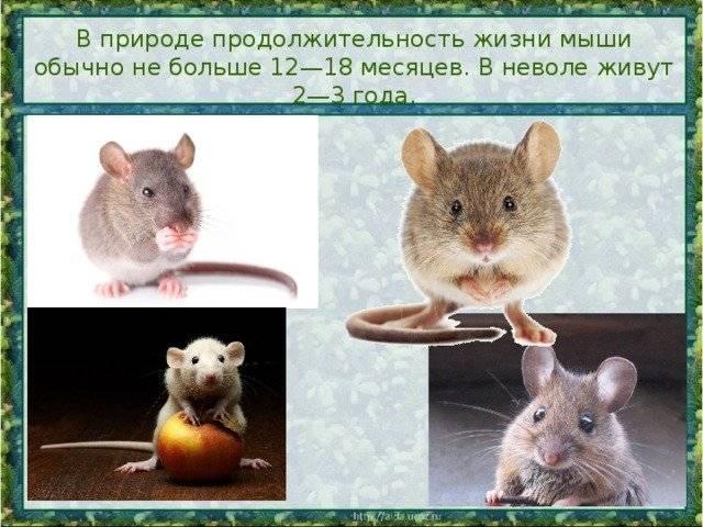 Сколько может прожить мышь без еды и воды?
