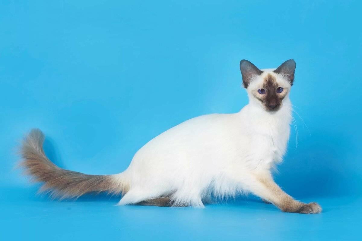 Балинезийская кошка - характер, уход, питание и болезни породы