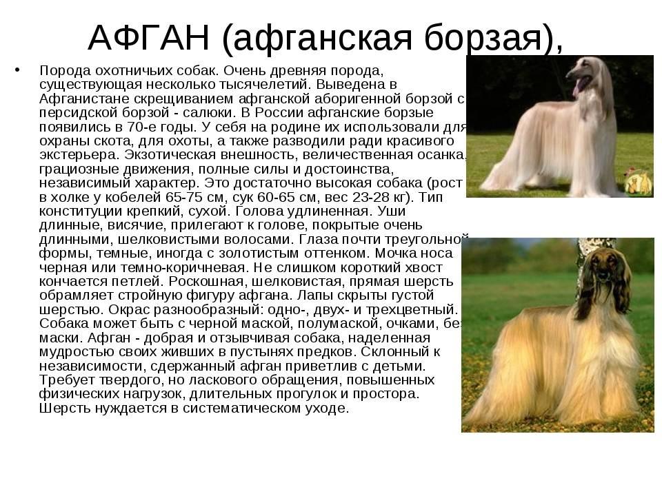 Афганская борзая: фото и видео собак и их щенков, стандарт породы и характер афганских борзых