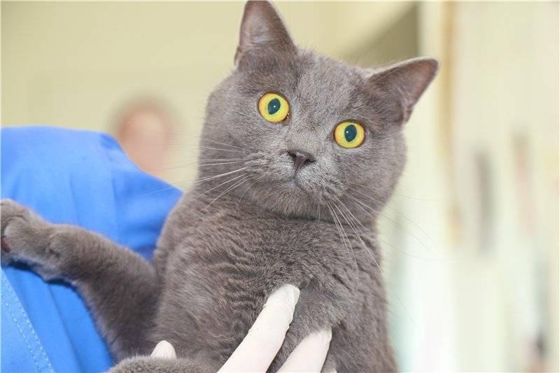 Когда кастрировать британского кота в каком возрасте?