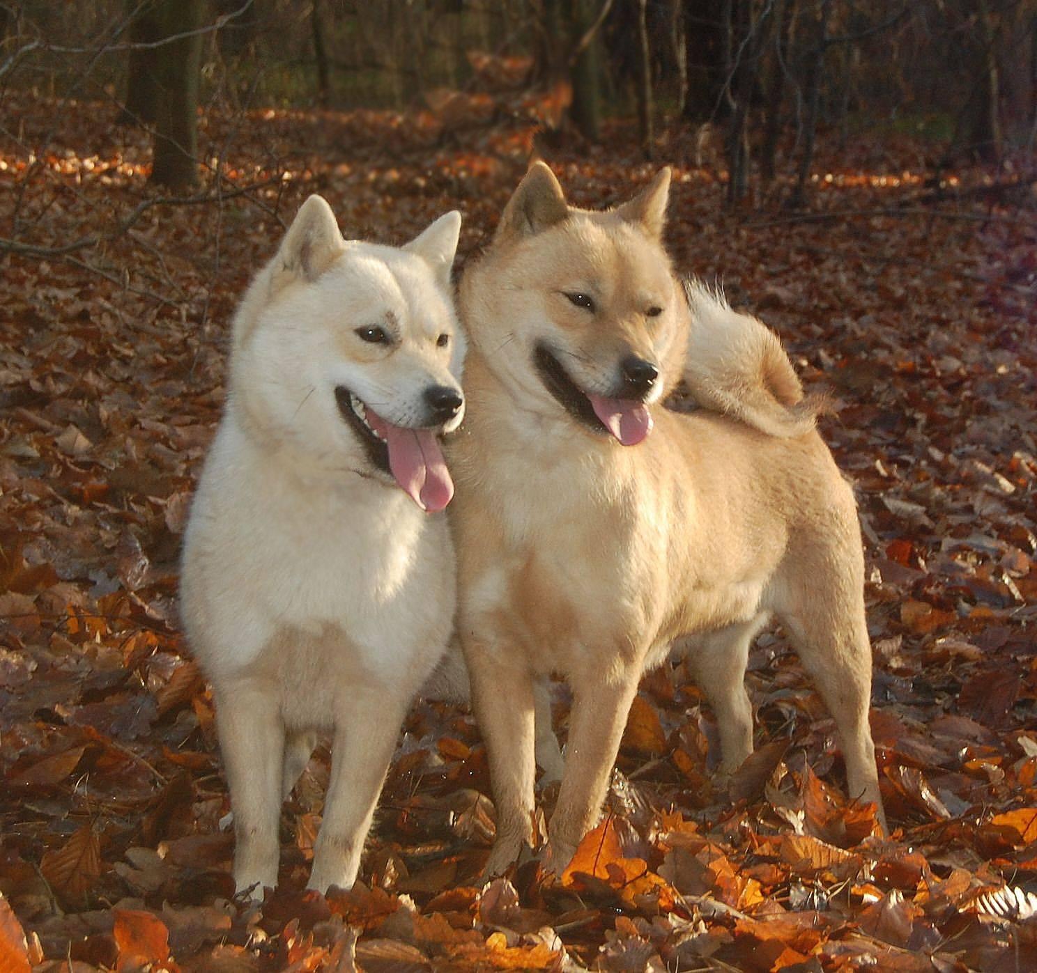 Хоккайдо (японская порода собак) | miuki mikado • виртуальная япония