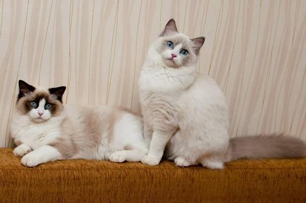 Полное описание породы кошек рэгдолл | все о животных