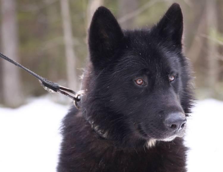 Собака волк или волкособ: описание породы, характеристика