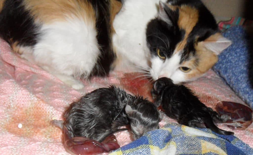 Когда и как начинаются роды у кошки, как помочь питомцу?