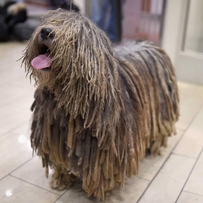 Бергамская овчарка: описание породы собак, цена, щенки