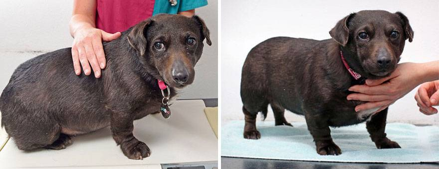 Ожирение у собак — причины, симптомы и лечение