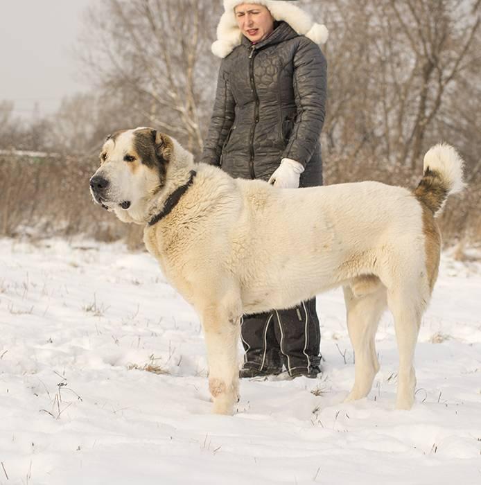 Алабай (среднеазиатская овчарка) – энциклопедия о собаках