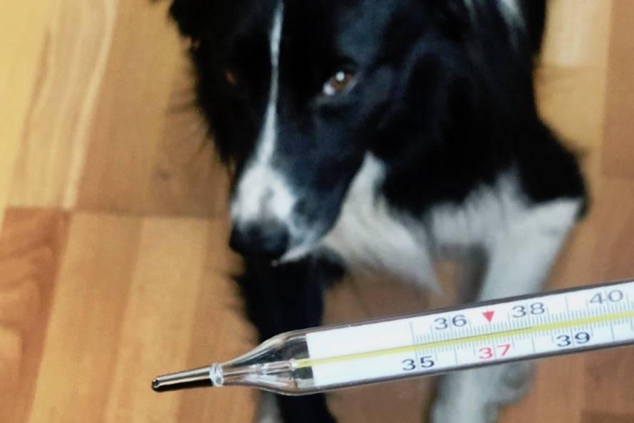 Как измерить температуру у собаки в домашних условиях | все о собаках