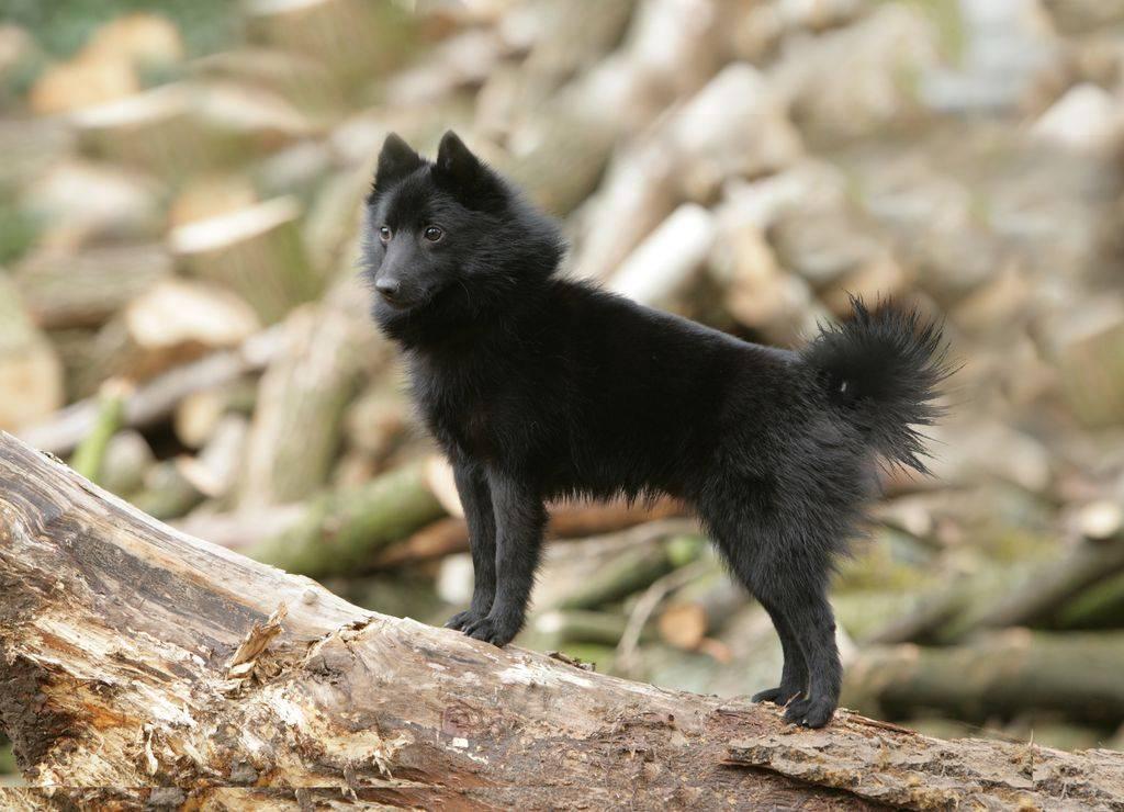 Шипперке собака: описание породы, фото, воспитание щенка, характер, уход, выбор щенка