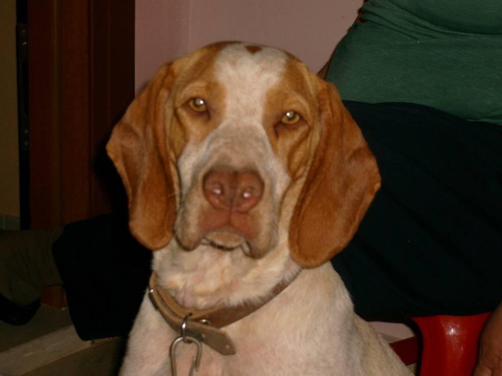 Каталбурун порода собаки. описание, особенности, виды, характер и фото каталбуруна | животный мир