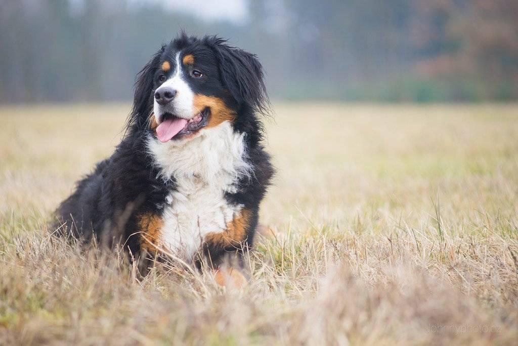 Описание породы собак бернский зенненхунд с отзывами владельцев и фото