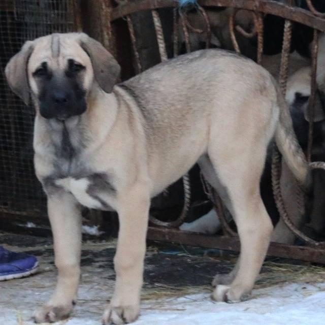 Мощный и смелый: описание породы пастушьих собак турецкий кангал
