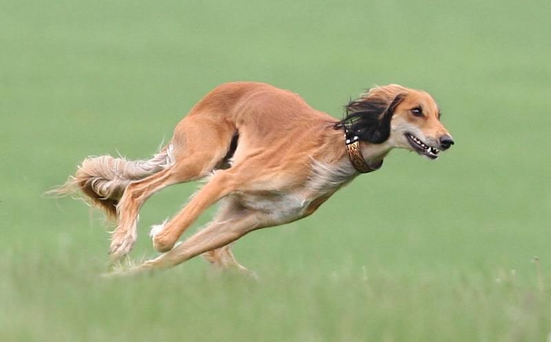 Топ-10 самых быстрых собак в мире