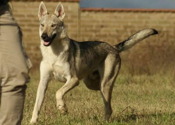 Вольфхунд собака. описание, особенности, содержание и цена породы вольфхунд | живность.ру