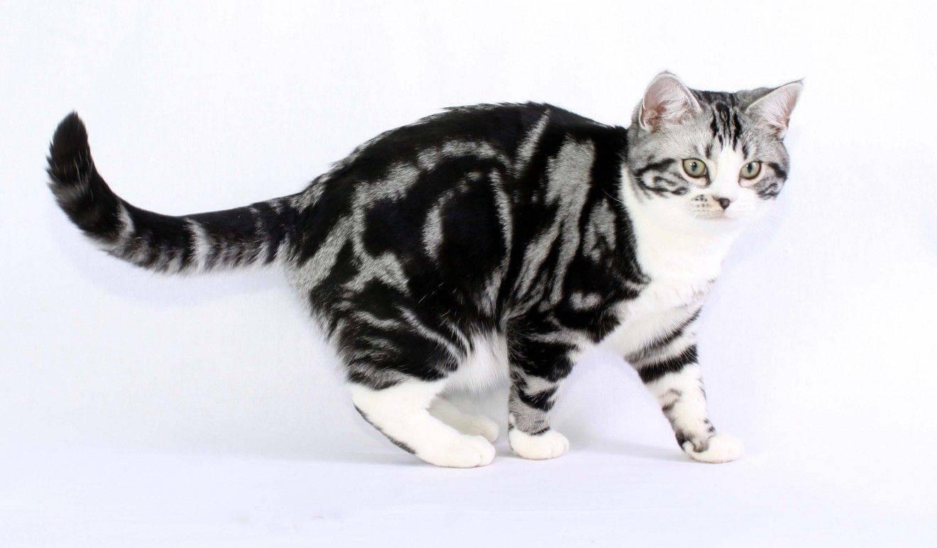 Усатые-полосатые: домашние коты с окрасом табби
