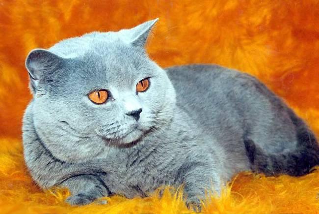 Вислоухий британец: описание породы, генетика, здоровье и характер кота