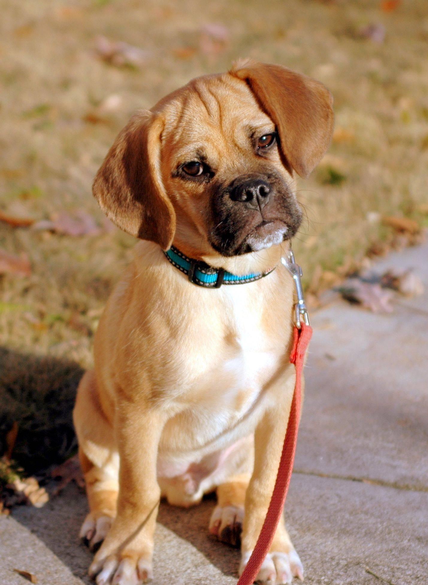 Бигль - 90 фото давняя добрая, отзывчивая и ласковая порода собак
