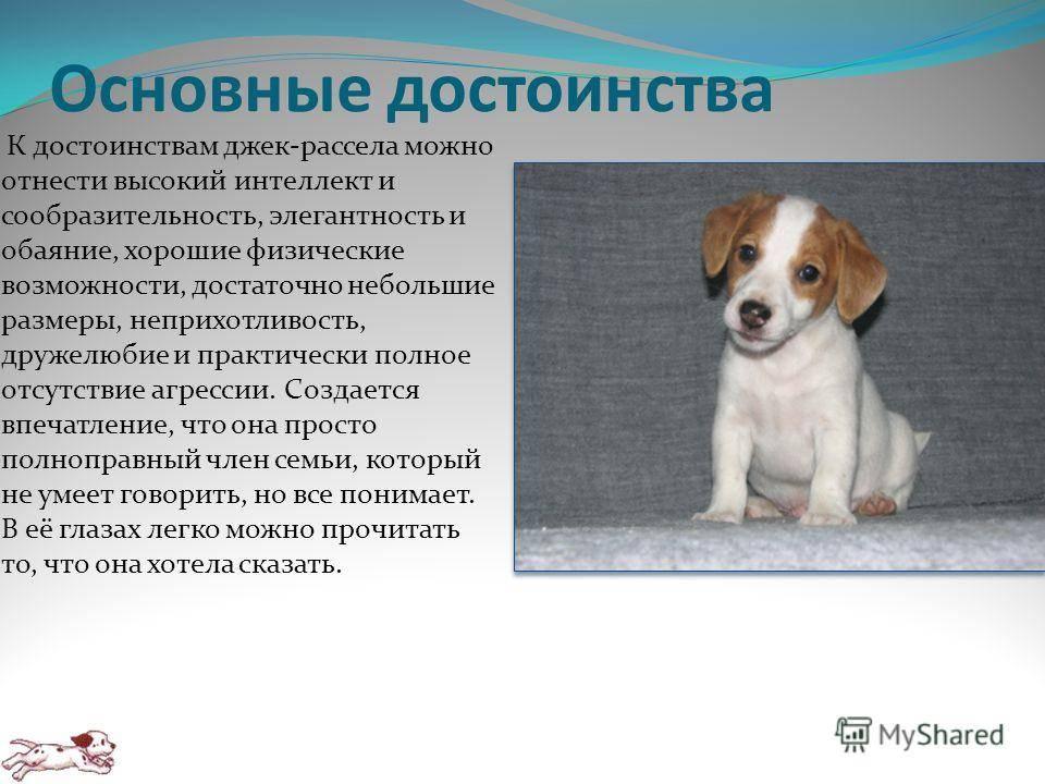 Джек-рассел-терьер (66 фото): описание породы, особенности характера собак-девочек и мальчиков. размеры и окрасы щенков. отзывы владельцев