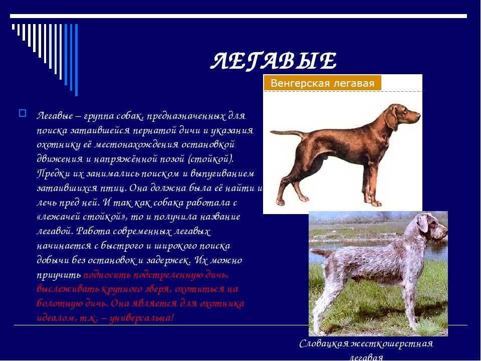 Веймаранер: фото и видео собаки, стандарт породы, веймаранер на охоте, длинношерстный и голубой веймаранеры