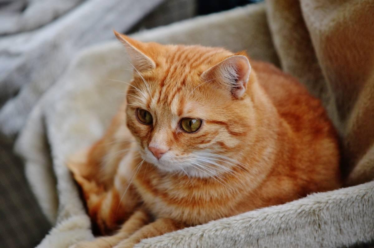 Характер рыжих котов