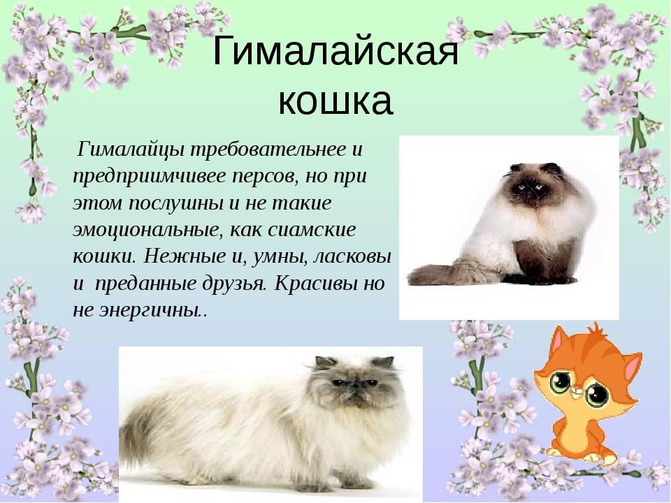 Гималайская кошка – описание породы, характер, фото