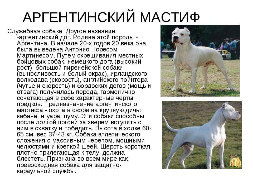 Порода собак английский мастиф: фото, видео, описание