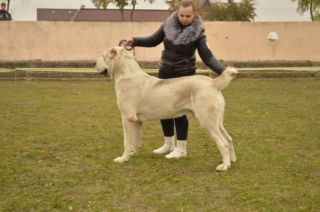 Алабай (среднеазиатская овчарка): характеристика породы, отзывы