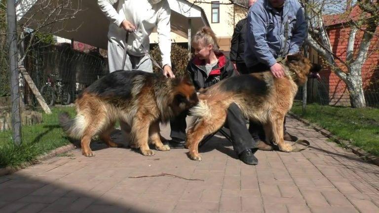 Как происходит вязка собак: что должен знать владелец?