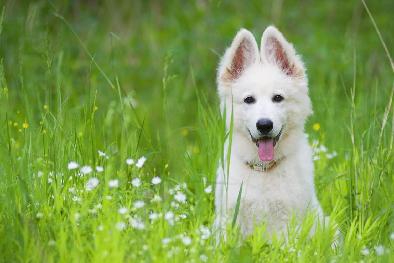 Собака-альбинос? нет, это белая швейцарская овчарка!