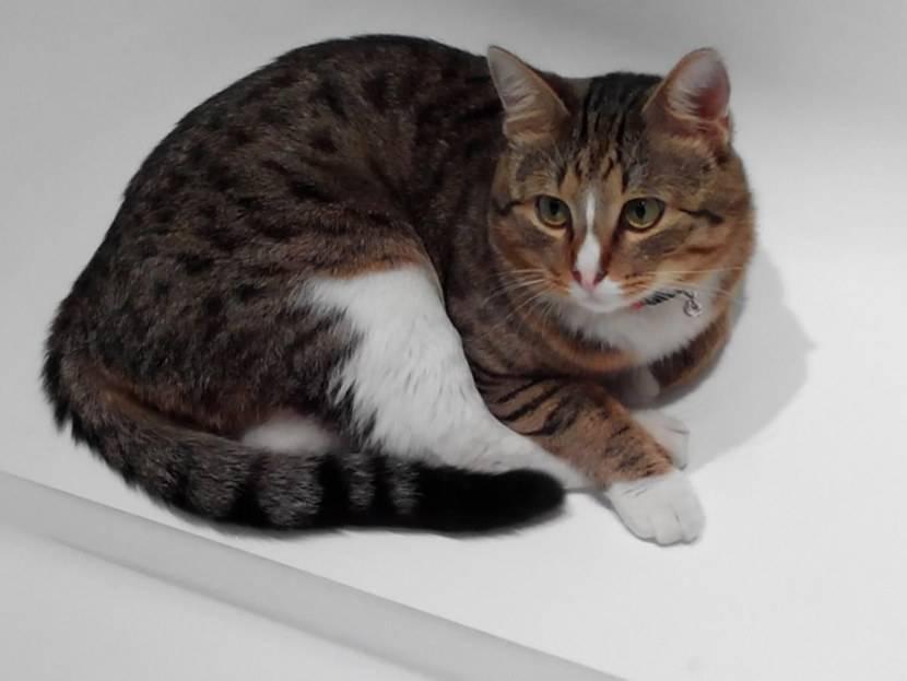 Какие бывают расчески для короткошерстных и пушистых длинношерстных кошек
