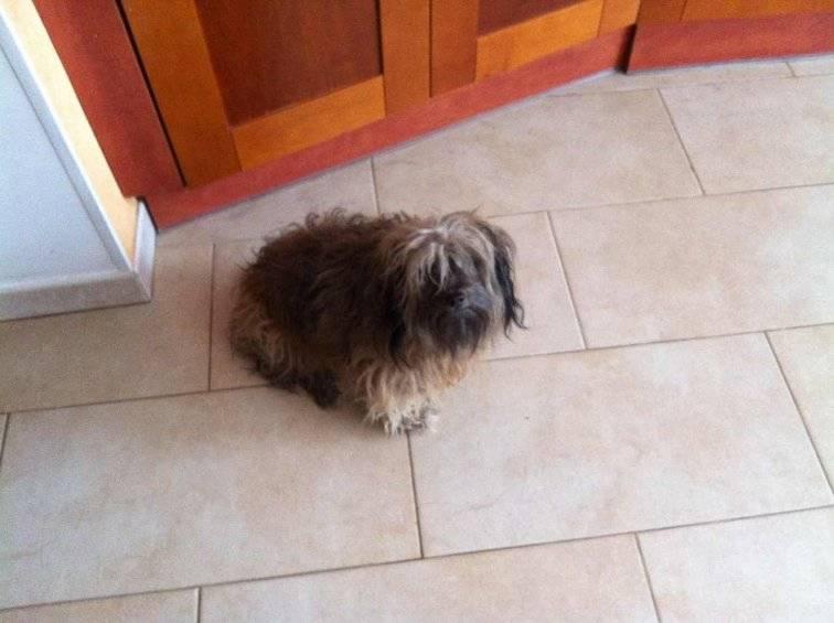 Удивительная помесь померанского шпица и чихуахуа: описание породы помчи и отзывы владельцев + фото этих собак