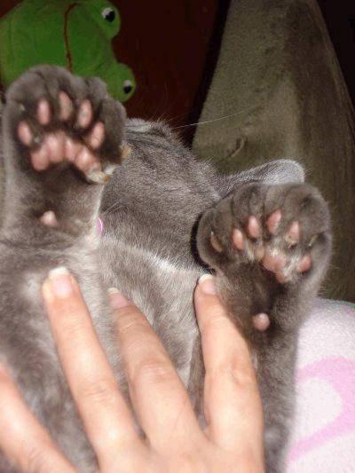 """Прибылые (пятый палец) у собак, удаление   блог ветклиники """"беланта"""""""