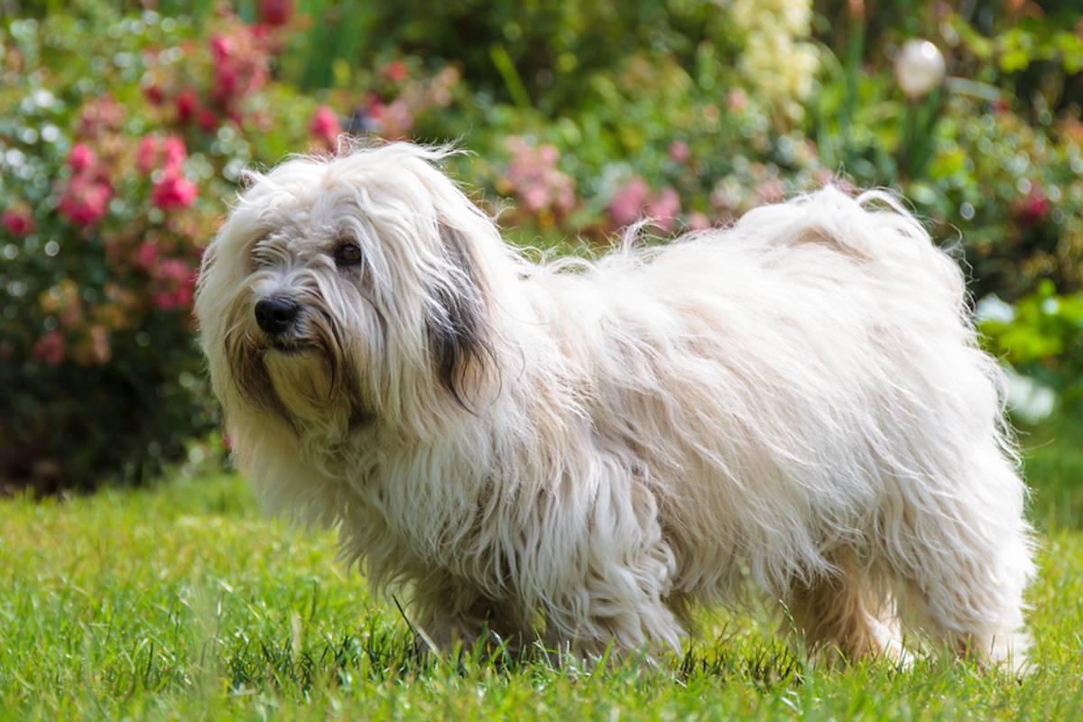 Собаки породы котон де тулеар: растим питомца дома