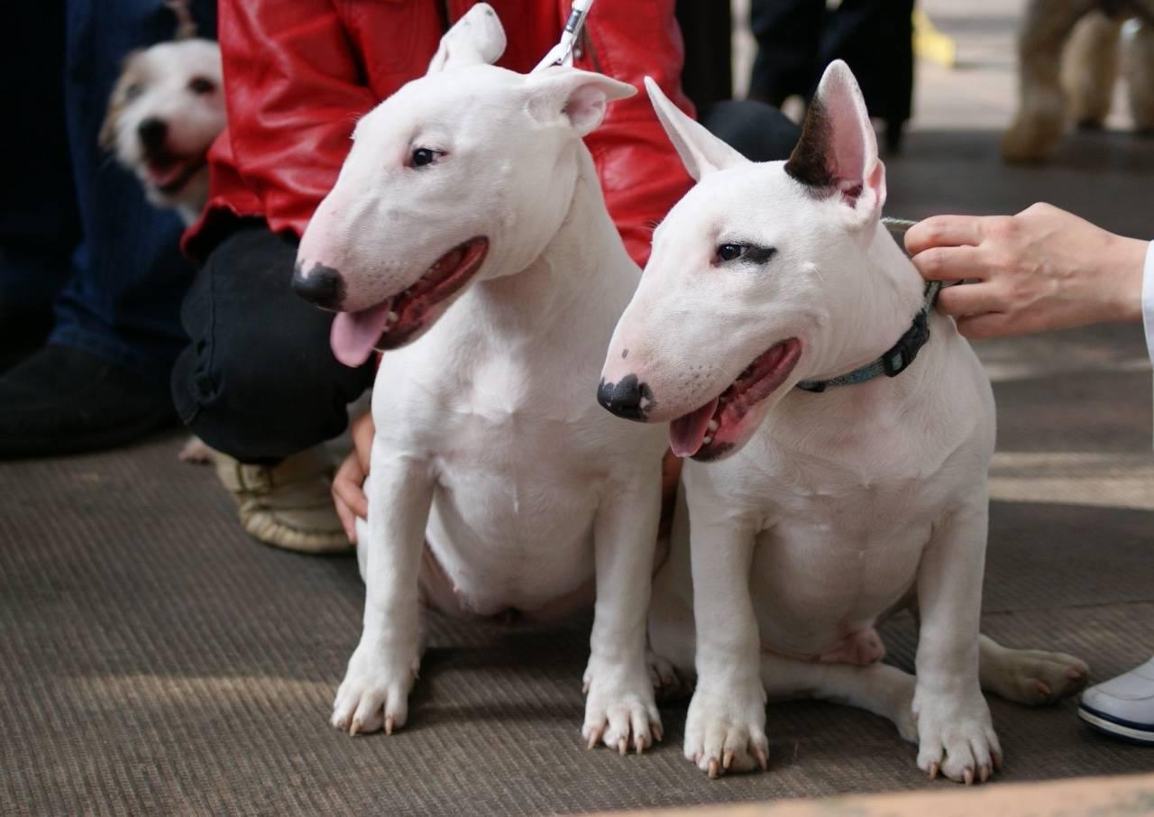 Миниатюрный бультерьер. о породе собак: описание породы миниатюрный бультерьер, цены, фото, уход