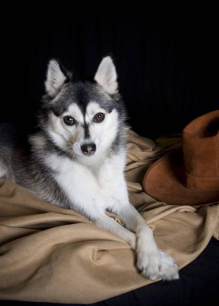 Аляскинский кли кай (мини хаски) : описание породы, фото миниатюрной хаски и отзывы