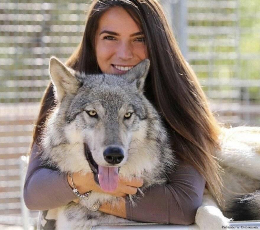 Помесь волка и собаки, характеристика и описание породы волкособ
