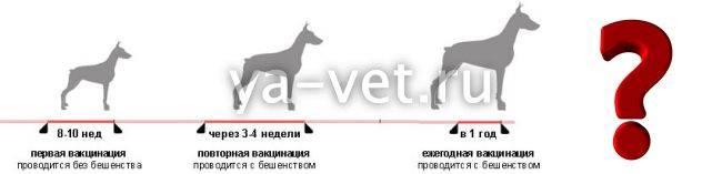 За сколько дней до прививки давать глистогонное собаке, зачем ее глистогонить перед вакцинацией?