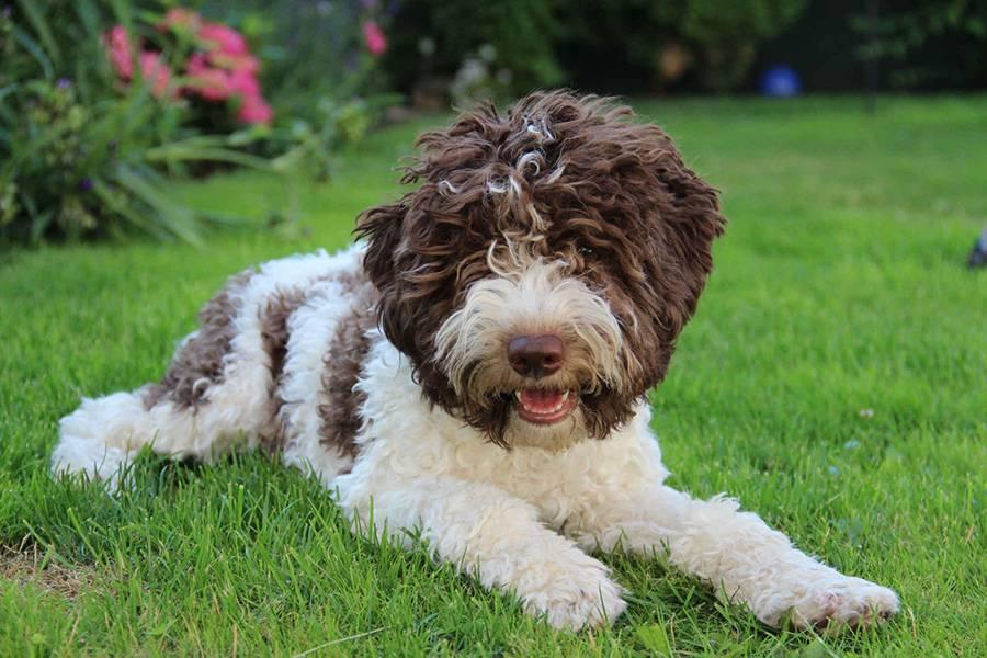 Описание португальской водяной собаки: особенности породы, фото, рекомендации по уходу