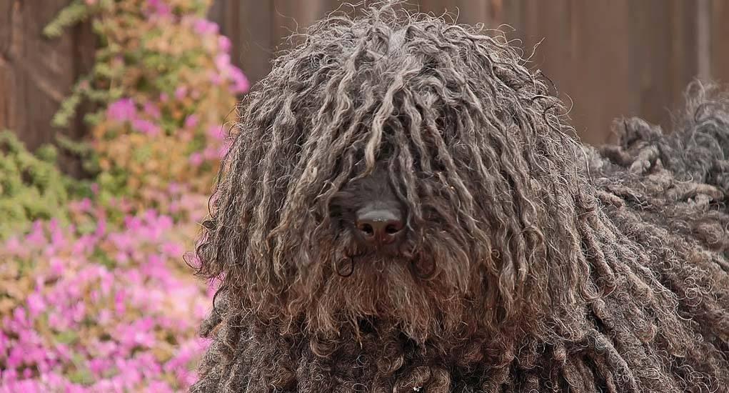 Венгерская овчарка или комондор(командор собака): фото и цена