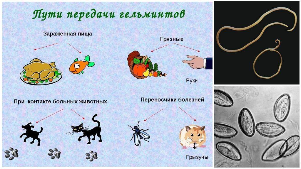 Может ли человек заразиться от кошки глистами и какие виды гельминтов встречаются у домашних питомцев