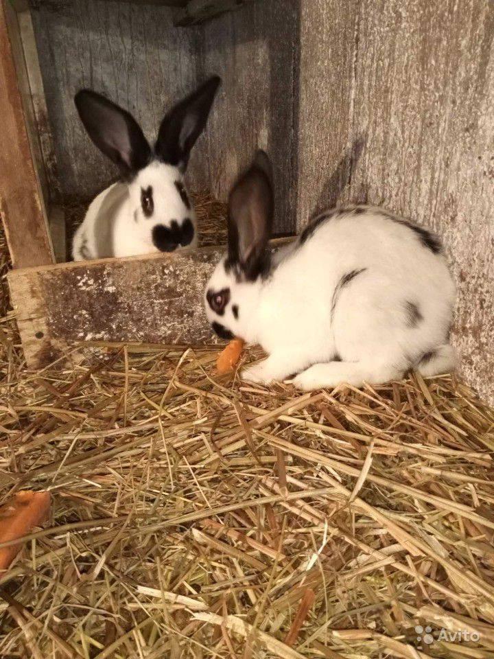 Кролик строкач: описание породы и фото