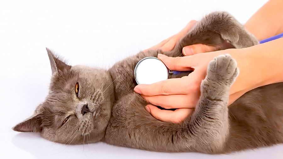 5 причин, почему кошка кашляет - чем помочь