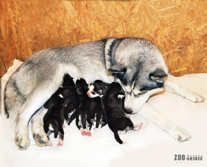 Как ухаживать за щенком хаски | собачий блог