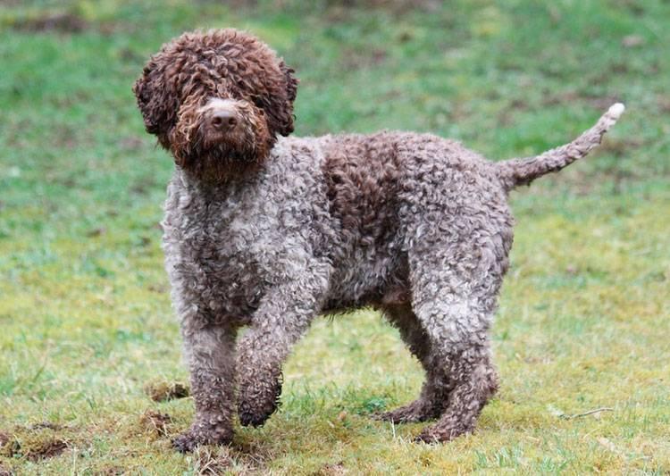 Португальская водяная собака: характеристика и описание редкого вида водолазов кан диагуа