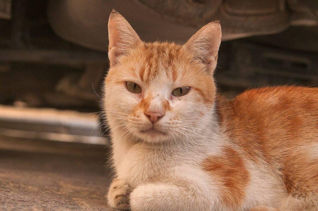 Анатолийская кошка: качественные фото, описание породы и уход за котятами.
